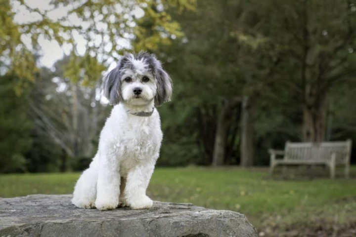 cute white and gray shichon dog sitting on rock in the park