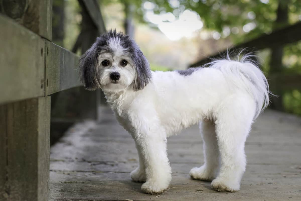 that doggy chi the shichon standing on wood bridge in the park