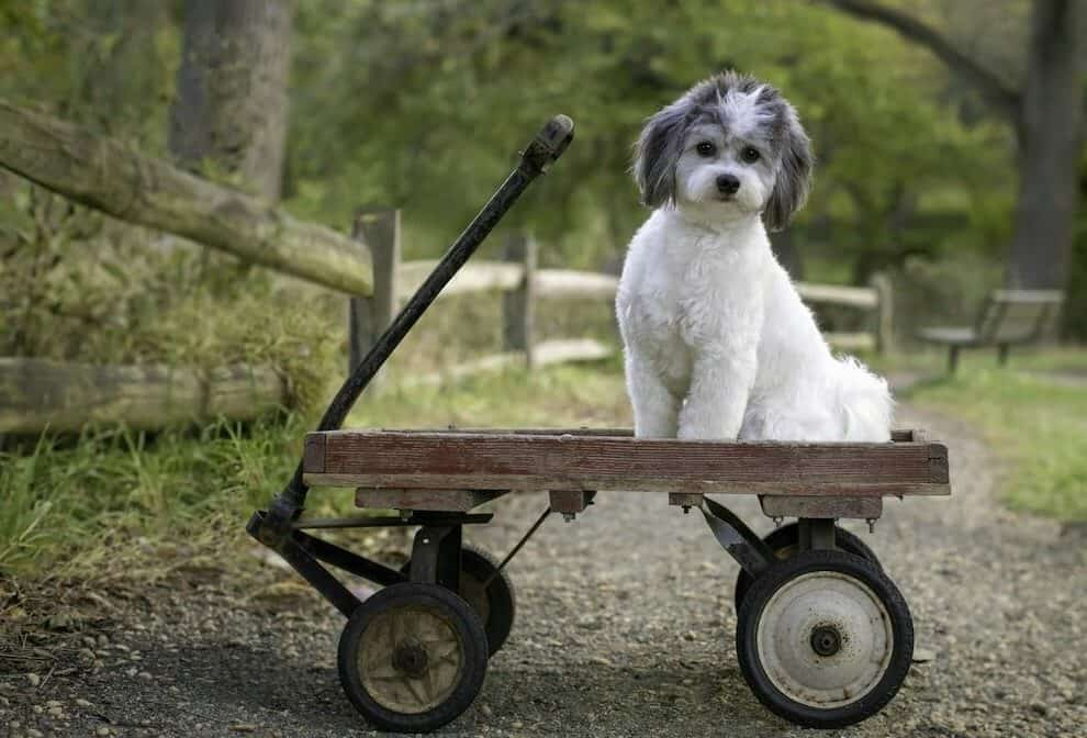 that doggy chi shichon breed sitting in a vintage wagon