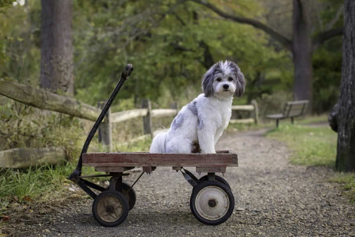fluffy white and gray shichon doggy chi sitting in an old toy wagon