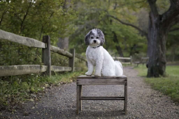 fluffy white and gray shicon dog sitting on a bench in the park
