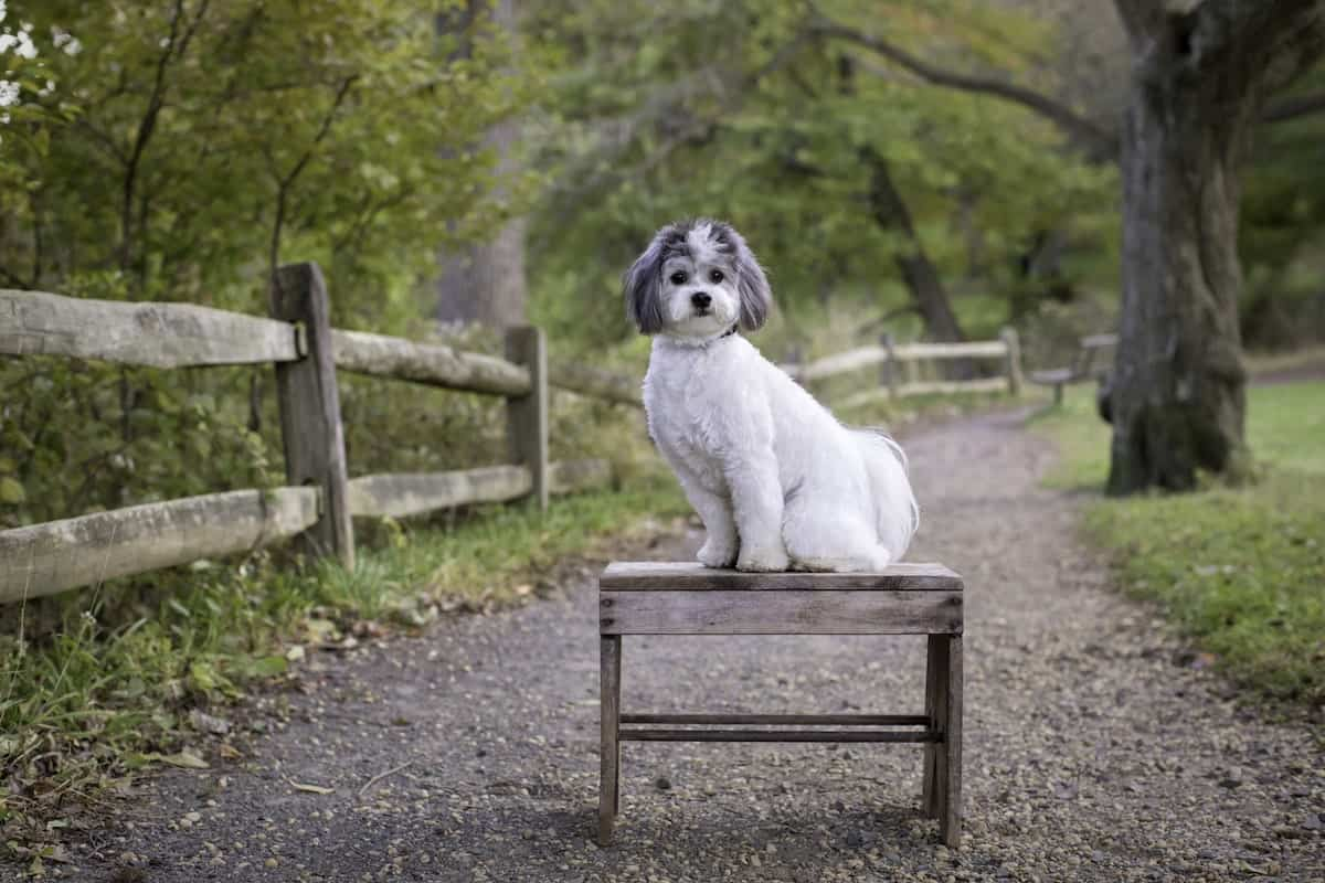 chi the shichon sitting on a bench in the park