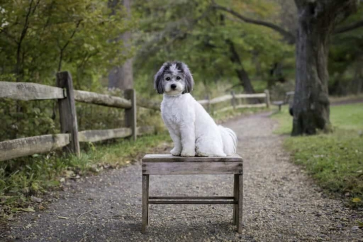 chi the shichon sitting on a bench on a trail in the park