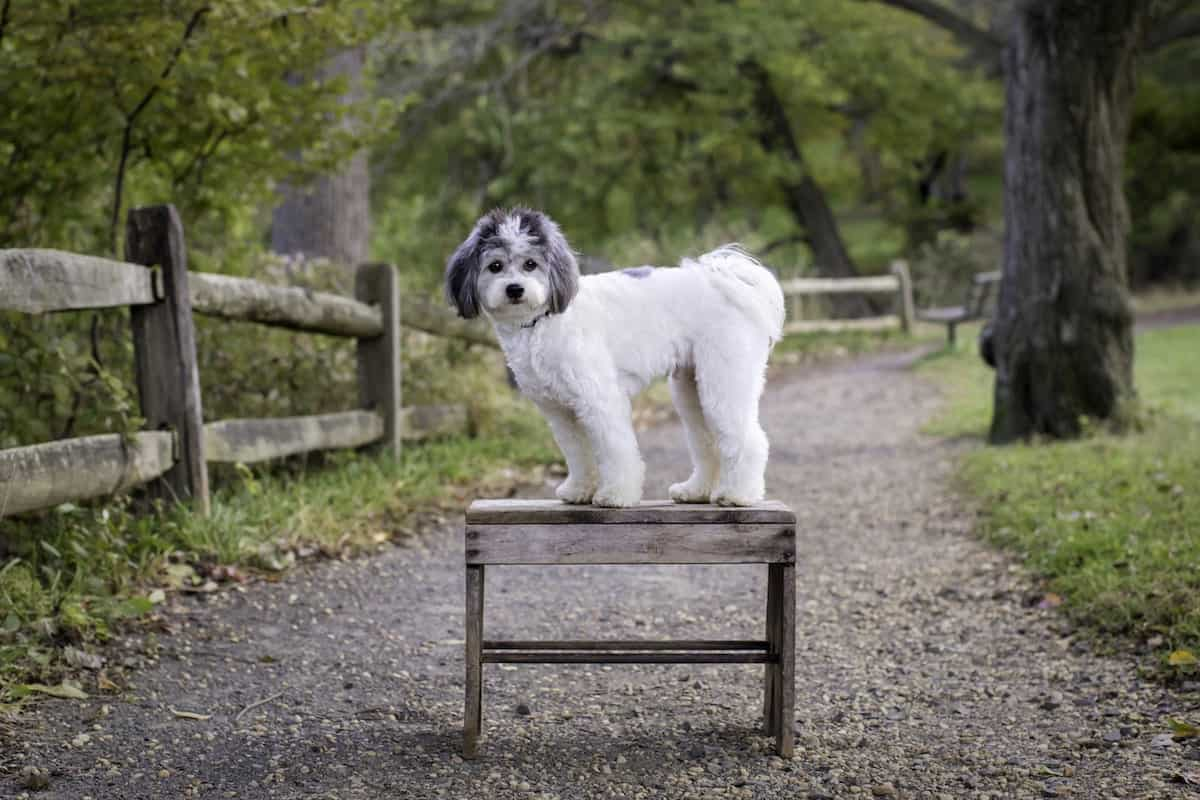 that doggy chi the shichon standing on a bench in the park