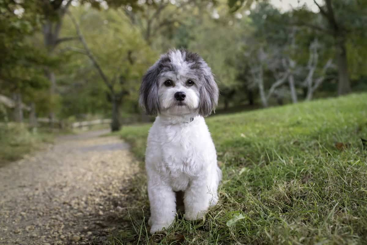 Bichon Frise and Shih Tzu mix sitting in the grass