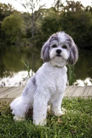 adorable white and gray shichon dog sitting by a pond in the park