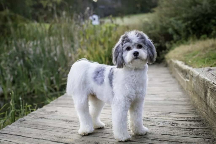 cute fluffy white and gray dog standing on a dock in the park