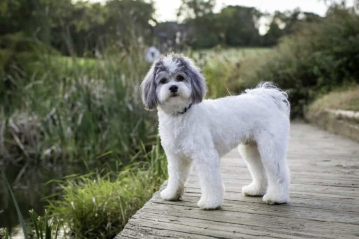 curious fluffy white and gray dog standing by pond