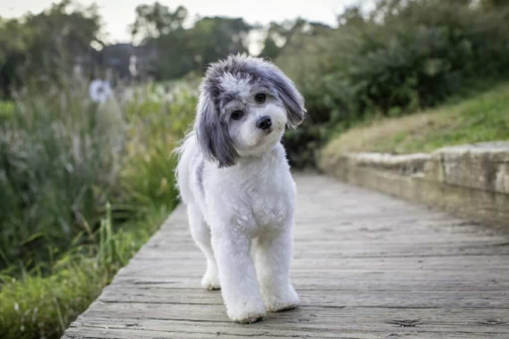 adorable dog tilting head while standing on the boardwalk