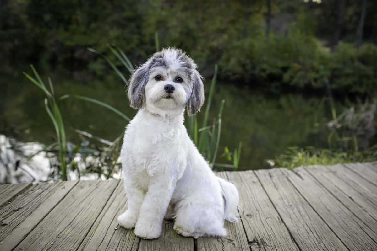 white and gray groomed dog standing proud