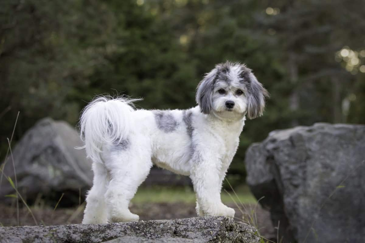 funny white and gray shichon dog standing a rock in the park