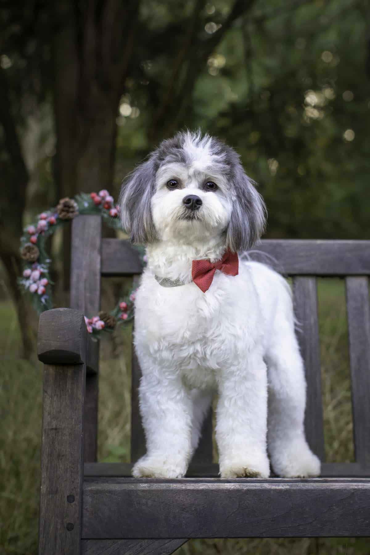 white and gray shichon wearing a red bowtie
